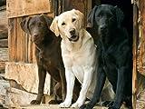 Three Labrador Retrievers Poster Print