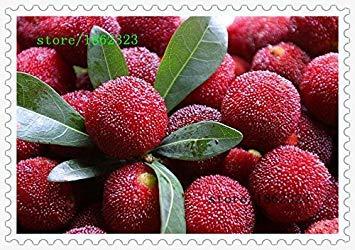 Vista 10 pcs/paquet, graines d'arbousier myrica rubra graines baies rouges graines vivaces arbutus goût doux fruitier