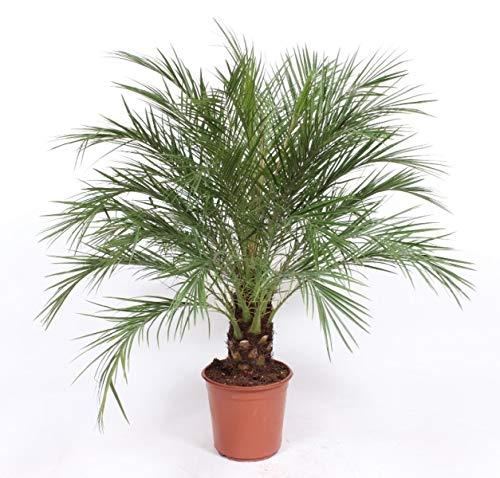 Zimmerpflanze von Botanicly – Zwerg-Dattelpalme – Höhe: 130 cm – Phoenix robellini