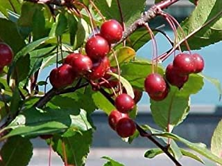 New Prairie Fire Crab Apple - Malus prairifire - Crabapple Tree 5 Seeds - Comb S&H