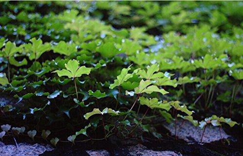 2015 Fleur graines Boston lierre Graines 50PCS Parthenocissus Feuillage Fleur Flore Vert SeedsAndPlants Jardinage Climb un as mur