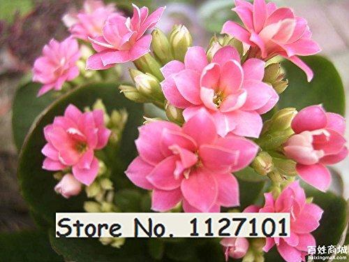 Sur les 24 types de Begonia Graines rares Fower Graines bonsaïs Maison & Jardin Flor Plantes en pot purification de l'air 10