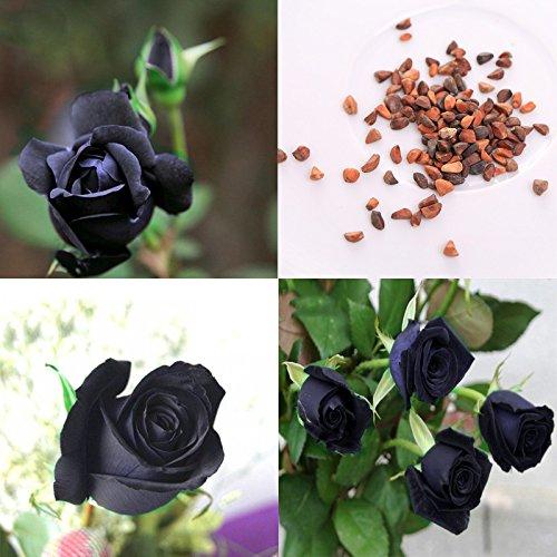 BigFamily 100 Pcs Mystérieux Noir Rose Graines De Plantes Amant DIY Beau Jardin Plantes