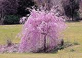 5 Seeds Dwarf Weeping Purple Cherry Tree Flowering Japanse Ornimental Garden