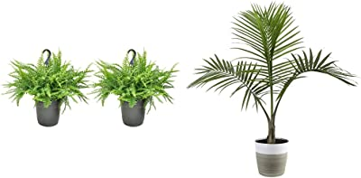 Costa Farms Home Décor, Premium Live Boston Fern Hanging Basket, 2-Pack & Majesty Palm Tree, Live Indoor Plant, 3 to 4-Feet Tall, Ships with Décor Planter, Fresh from Our Farm