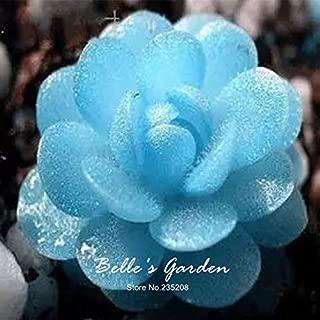 Geranium for Sale Hollyhock Plants 100pcs Blue witchford Lithops Seeds Home Beautiful Flower Seeds Bonsai Plant DIY