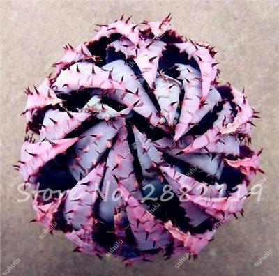 Rare Serpent Aloe Vera Seed 30 Pcs forme rare Aloe Vera plante à base de plantes succulentes semences Bonsai de haute qualité pour l'usine Balcon & Jardin 3