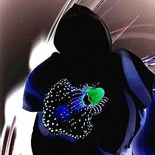 Egrow 100 PCS Rare Black Orchid Flower Seeds Exotic Orchid Home Garden Bonsai Pl