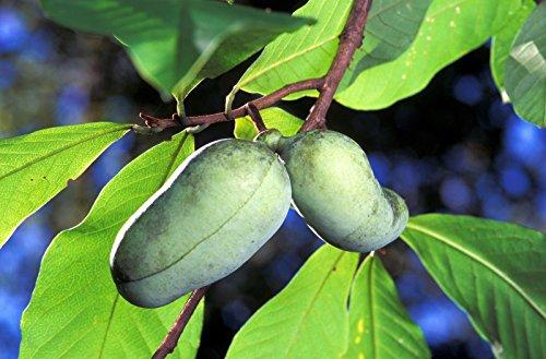 Portal Cool 5 Paw Paw Obstbaum Indian Banana Asimina Triloba Blumensamen Kamm S/H + Gift
