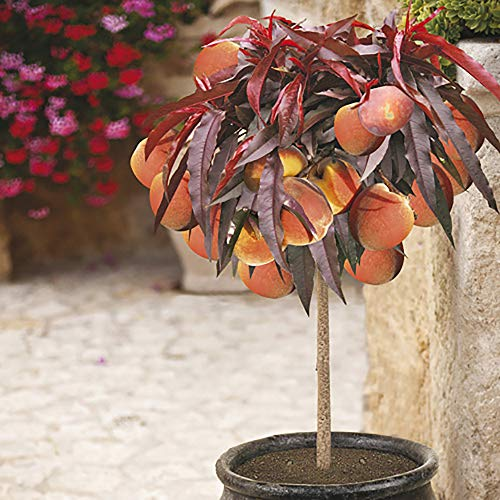 Patio Peach Tree 'Crimson' (R) Bare Root Tree 70cm