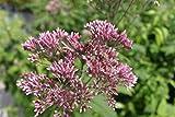 4er-Set - Eupatorium purpureum - purpurroter Wasserdost - Wasserhanf, rot - Wasserpflanzen Wolff