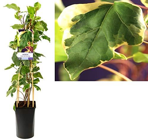 EDERA DI MARENGO, pianta da esterno rampicante, pianta vera