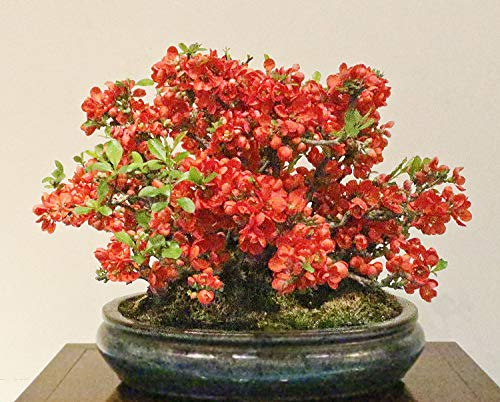 Chaenomeles Japonica Bonsai Bush 10-500 Seeds, Cold Hardy & Fragrant, Red Japanese Flowering Quince Shrub - 10 Seeds