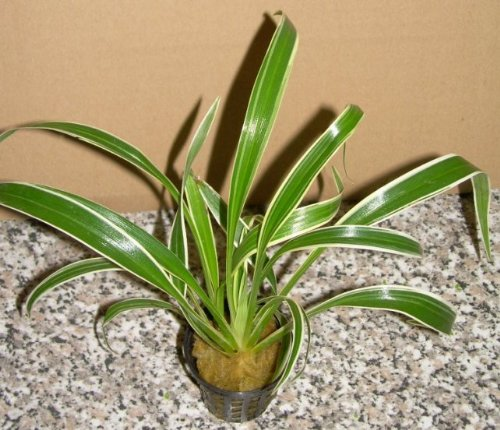1 Topf ophiopogon jap. variegatum, Schlangenbart