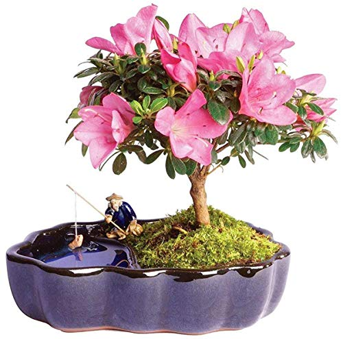 Brussel's Bonsai Live Satsuki Azalea Outdoor Bonsai Tree in Zen Reflections Pot-4 Years Old 8' to 10' Tall,