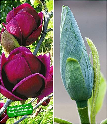 BALDUR-Garten Magnolien-Sortiment, 2 Pflanzen Magnolia Magnolia winterhart Tulpenmagnolie Magnolienbaum Genie und Blue Opal