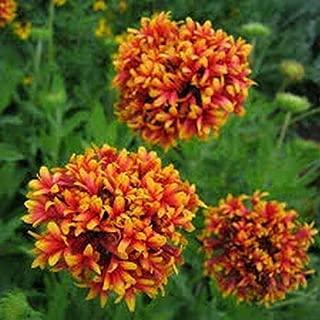 Gaillardia Pulchella Sundance Bicolor 25 Seeds #SS7TM