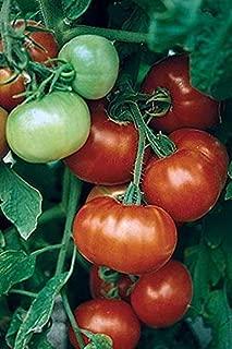Super Fantastic Hybrid Tomato Seeds (100 Seeds)