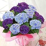 BunBunBee 母の日 アジサイ鉢6号・欲張り2色咲き「ブルー&パープル」 2020
