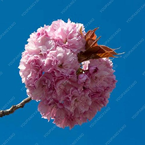 20 graines/paquet de graines de sakura japonais bonsaï ornement graines de cerisier fleur de fleurs de cerisier pour la maison et le jardin