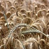 Seigle d'hiver (Secale cereale) Graines (~ 250): Certifié biologique, sans OGM des semences Paquet