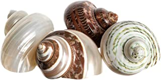 Hermit Crab Shell Assortment | House for Hermit Crab | 4 Turbo Shells 2-2.5