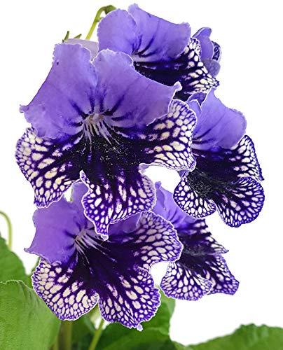 Fangblatt - Streptocarpus blau/dunkelblau- afrikanisches Veilchen – Drehfrucht mit zarten Blüten – eine duftende und exotische Zierpflanze