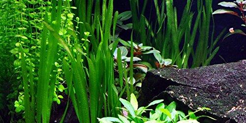 Vallisneria americana 'Schwimmfarn' / Vallisneria americana Natan - 1 Bund - Live Aquarium Pflanze