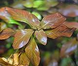 Ludwigia sp. 'Atlantis' - 1 ramo - Planta de acuario vivo