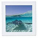 3dRose Cayman-Inseln, Southern Stingray in Karibik