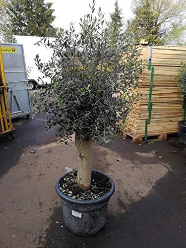 XXL Olivenbaum 25-30 Jahre alt - Olea Europea Hochstamm 160 cm Stammumfang 20 cm Formgehölz