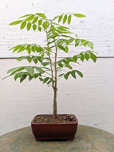 SmartMe Live Plant - Japanese Wisteria Bonsai Tree - Tree Plant