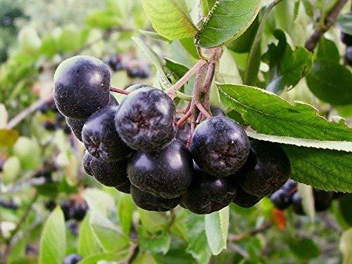(20) Schwarz Aronia-Baum-Samen - Aronia melanocarpa