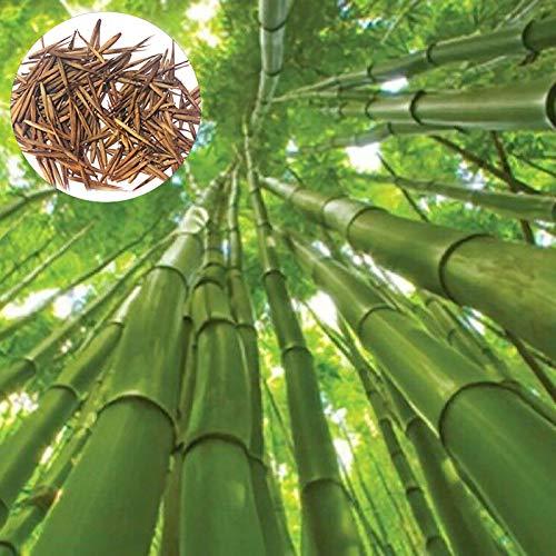 Las semillas de bambú, 1 bolsa de bambú ornamental...