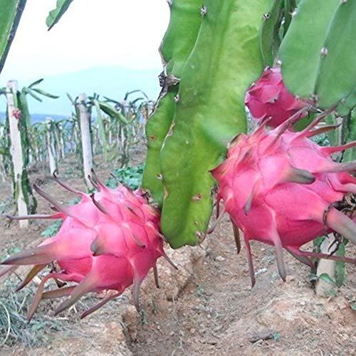 nulala 15pcs Dragon Fruit Semillas Cactus Pitaya Pitahaya Semillas Tropical Sweet Red Flesh Exotic