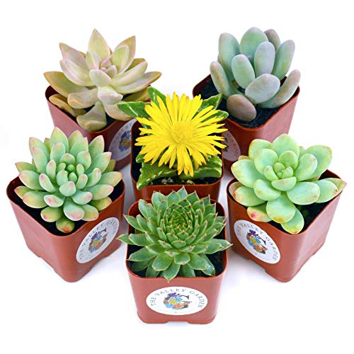 Succulent Plants 9-Pack, Fully Rooted in Planter Pots with Soil - Real Live Potted Succulents, Hand Selected Randomly Variety Pack of Mini Succulents (6 Pcs)