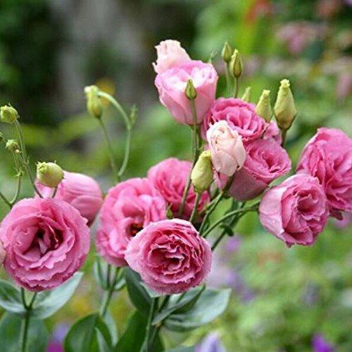 Sehr schöne und seltene Red Eustoma Samen Staudenblütenpflanzen Lisianthus Multicolor für DIY Haus und Garten 100 Samen