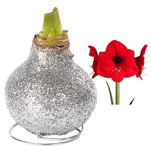 Kölle Gewachste Amaryllis-Zwiebel, Magic Silber, Blüten in Rot
