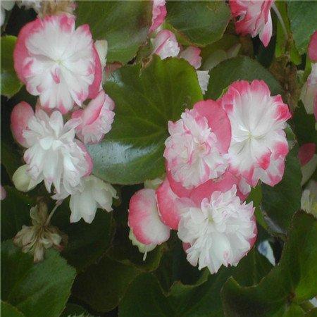 Nouvelle arrivée 12 Color1000 mix odorants bégonia Graines vivace Fleurs de jardin Bonsai, acheter 2 obtenir 10 Rose cadeau