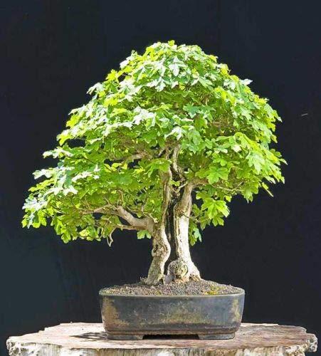 Fresh Seeds - FIELD MAPLE - 50 SEEDS - Acer campestre - BONSAI TREE