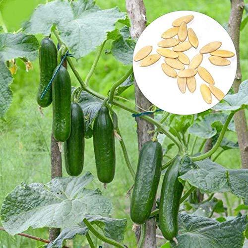 1 Bolsa De Semillas De Pepino Semillas De Huerto Dulce Sin Espinas Nutritivas Semillas de pepino