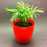 Siam Garden Bamboo Palm Chamaedorea seifrizii - Green Plant with Black Pot Indoor NASA Air Purifier Oxygen Plant