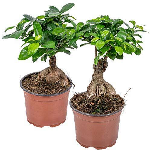 Ficus \'Ginseng\' | Bonsai-Baum pro 2 Stück - Zimmerpflanze im Aufzuchttopf ⌀12 cm - 35 cm