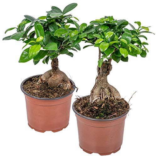 Ficus 'Ginseng' | Bonsai-Baum pro 2 Stück - Zimmerpflanze im Aufzuchttopf ⌀12 cm - 35 cm