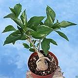 10 semillas de baobab, digitata del Adansonia (), Monkeybread árbol, el cultivo de interior o al aire libre!