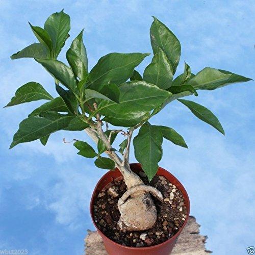 10 graines de baobab, (Adansonia digitata), Monkeybread arbre, grandir intérieur ou extérieur!