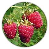 Framboise géante - 50 graines - Rubus idaeus - Pour plantes vivaces - Fruits sains et riches en vitamines