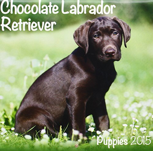 Chocolate Labrador (Mini) 2015