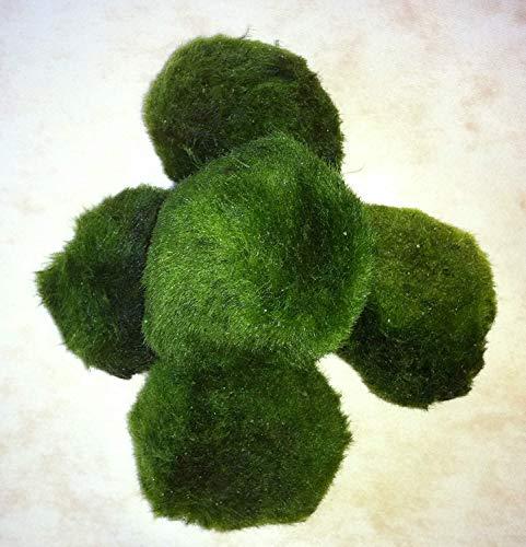 Topbilliger Pflanzen Mooskugeln 5X - 3-5 cm - natürlicher Biofilter für`s Aquarium