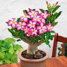 2 Pink Desert Rose, 1 Year Old Bare Rooted Baby Plant - Caudex Bonsai